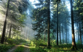 Forest trees and the light rays