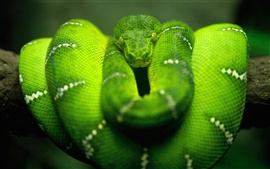 Preview wallpaper Green snake