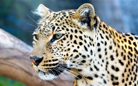 Preview wallpaper Leopard