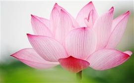 Preview wallpaper Pink lotus macro