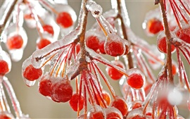 Red berries ice cold winter