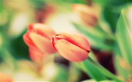 Preview wallpaper Red tulip macro