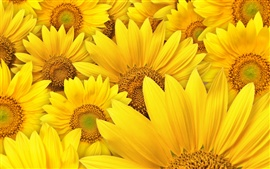 Preview wallpaper Sunflowers macro photography