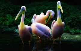 três pelicanos