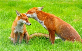 Two foxes on the grass