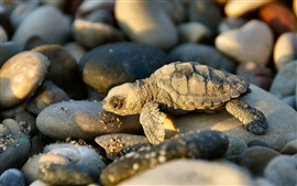 Preview wallpaper A small turtle and stones