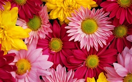 Preview wallpaper Brightly colored chrysanthemums