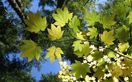 Vorschau des Hintergrundbilder Maple Leaf Green unter der Sonne