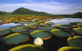 Vitoria Regia Lirio de agua en el Pantanal Matogrossense, Brasil