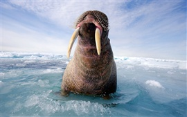 Preview wallpaper Walrus on the sea ice