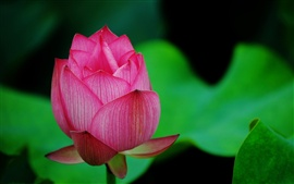 Preview wallpaper A red lotus macro