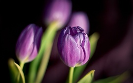 Preview wallpaper Flowers tulips purple petals of spring