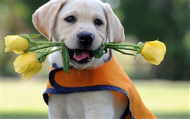 Preview wallpaper Labrador Retriever biting roses