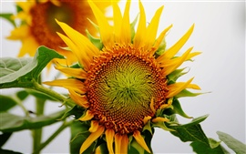 Preview wallpaper Sunflower macro