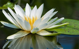 Preview wallpaper Water lily macro