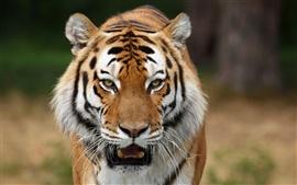 Aperçu fond d'écran Sauvage siberian chats tigres