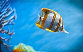 Yellow and white clownfish