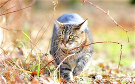 Gato à procura de presas