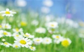Flores de camomila macro