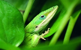Preview wallpaper Green lizard