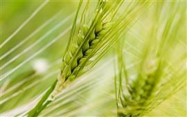 녹색 밀의 매크로