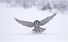 Preview wallpaper Owl on snow
