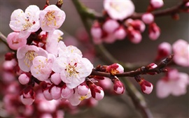 Preview wallpaper Pink plum