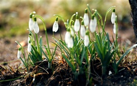 Preview wallpaper Snowdrops white flowers