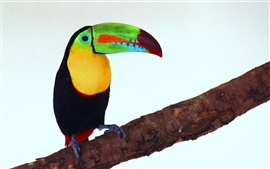 Preview wallpaper Toucan picture