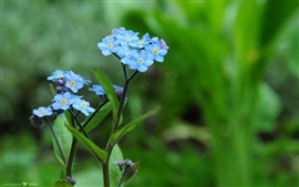 Forget-me-not flowers macro