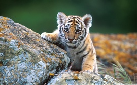 Preview wallpaper Little tiger