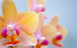 Orange butterfly orchid
