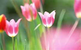 Preview wallpaper Purple tulips macro photography