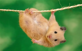 Preview wallpaper Small pet rat on a rope
