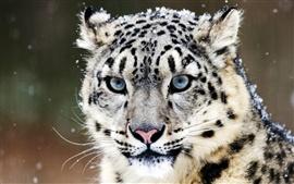 Голубые глаза снежного барса