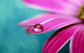 Drops of water on pink petals