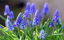 Preview wallpaper Grape hyacinth flowers