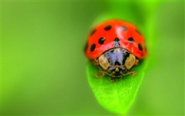 Preview wallpaper Ladybug on green leaf