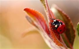 Aperçu fond d'écran Coccinelle fleur feuille