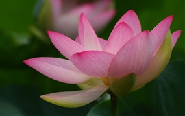 Preview wallpaper Lotus macro photography