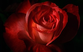 Preview wallpaper Red rose petals macro