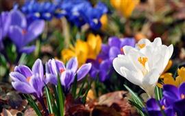 Flores de primavera azafrán