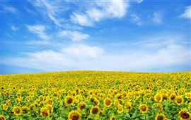 Preview wallpaper Sunflowers sky horizon