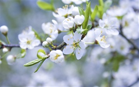 Preview wallpaper Apple blossom flower buds of white petals branch