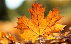 Осенний лист клена крупным планом