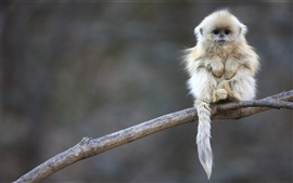Cute shaggy macaque