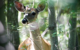 Aperçu fond d'écran Cerf dans la forêt