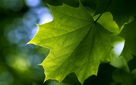 Green maple leaf close-up