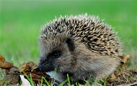 Preview wallpaper Hedgehog needle close-up