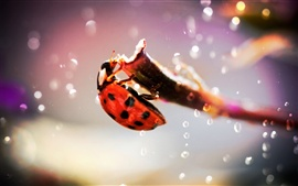 Preview wallpaper Ladybug macro photography